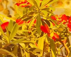 Oleander 1 15x22