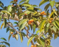 Orange Tree 20x55