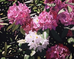 Pink White Rhododendrons