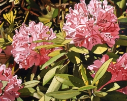 Pink Rhododendrons 16x16