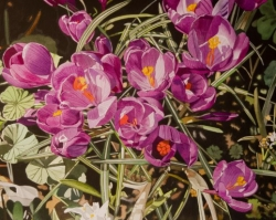 Purple Crocus 15x22