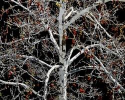Sycamore Tree 71x50